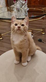 BKH-Ragdoll kitten