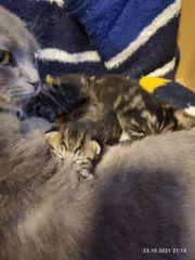 scottisch fold kitten