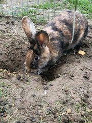 Hase Kaninchen Häsin Weibchen ca