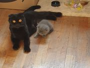 Scottish Fold Mama und Bkh