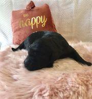 Flatdoodle- Doodle- Goldendoodle-Familienhund- Therapiehund - Assistenzhund