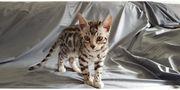 Reinrassiger Bengalkater Prinz Kitten