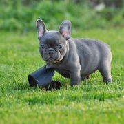 Super liebe kerngesunde Französische Bulldoggen