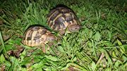 2 griechische landschildkröte