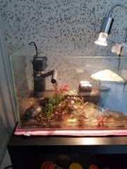 Moschusschildkröte Wasserschildkröte mit Terrarium
