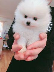 Schöne Pomeranian Welpen