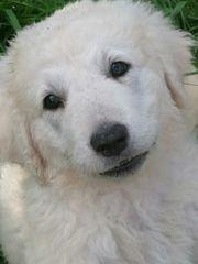 Kuvasz Welpen Herdenschutzhunde weiß
