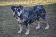 Alternativ Bulldogge