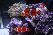 Meerwasser Ocellaris Paar Anenemonenfischpaar