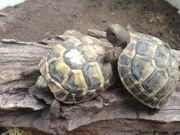 Griechische Landschildkröten NZ 2017 und