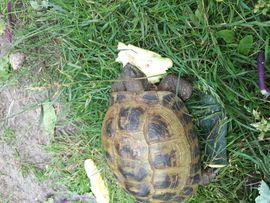 Bild 4 - Weibliche Stepplandschildkröte zu verkaufen - Kirchdorf