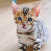 Wunderschöne reinrassige Bengal-Kitten mit Stammbaum