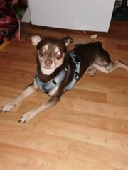 Chihuahua Mix abzugeben