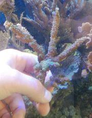 Meerwasser Acropora grün SPS Steinkoralle