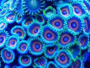 Zoanthus Korallen Ableger für Meerwasser