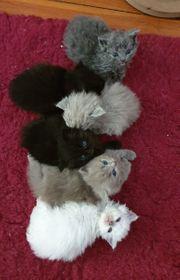 SelkirkRex Kitten zu verkaufen