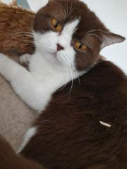 BKH Katze sucht einen Deckkater
