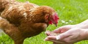 Garten gesucht für Hühnerhaltung