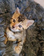 4 Wunderschöne reinrassige Bengal Kätzchen