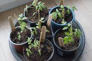 Bio-Tomaten Setzlinge aus eigenem Saatgut