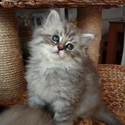 Blh kitten Kater