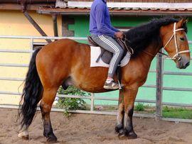 Pferde - Polnischer Kaltblutwallach Sab