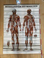 Poster Menschliches Muskelsystem Muskulatur Lehrtafel