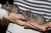 3 handzame Degu-Männchen