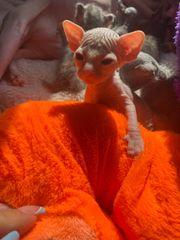 Sphinx Kätzchen