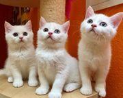 Süße Katzenbabys dürfen ausziehen BKH