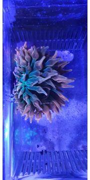 Entacmaea quadricolor Sunburst Blasenanemone Koralle