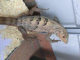 1 1 Schwarzere Leguane: Kleinanzeigen aus Graben - Rubrik Reptilien, Terraristik