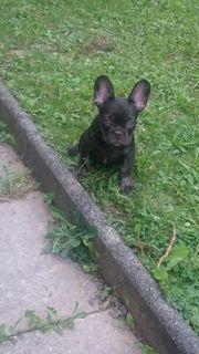 Schoko Merle Französische bulldogge Welpe