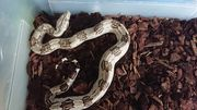 1 0 Boa constrictor constrictor