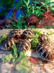 Griechische Land Schildkröte Babys Schildkröte