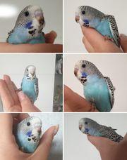 Wellensittich blau Handzahm Nestjung