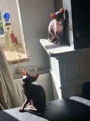 Kitten Katzenbabys Sphynks kanadische Sphinx