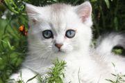BKH Kitten Mädchen und Junge