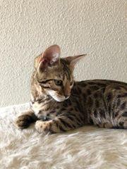 Savannah-Bengal-Mix-Kätzchen sucht neues Zuhause