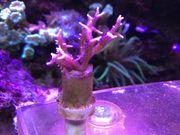 Korallen Ableger 6st