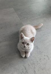 Kitten BKH Scottisch Fold Nur