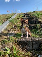 Schoko and tan deckrüde Chihuahua