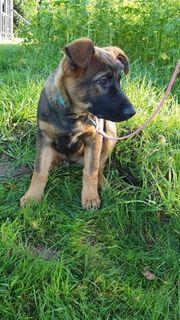 bordercolli labrador schäferhund welpen