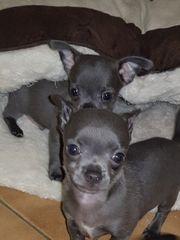 Chihuahua Welpen Sonderfarbe-Blau Ab sofort
