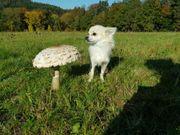 Suche Chihuahua Deckrüden Langhaar