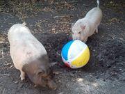 Minischweine Minischwein Eber Minischwein Sau