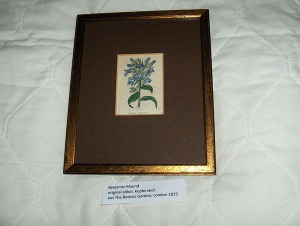 Lobelie orig Kupferstich von Benjamin