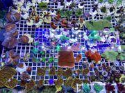 Biete viele verschiedene bunte Korallenableger