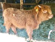 4 Highland Rinder Absetzer
