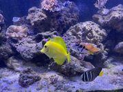 Meerwasser Hawaii Doktorfisch